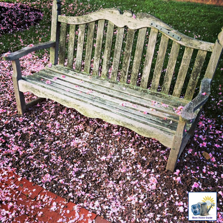 Cherry blossoms on a park bench