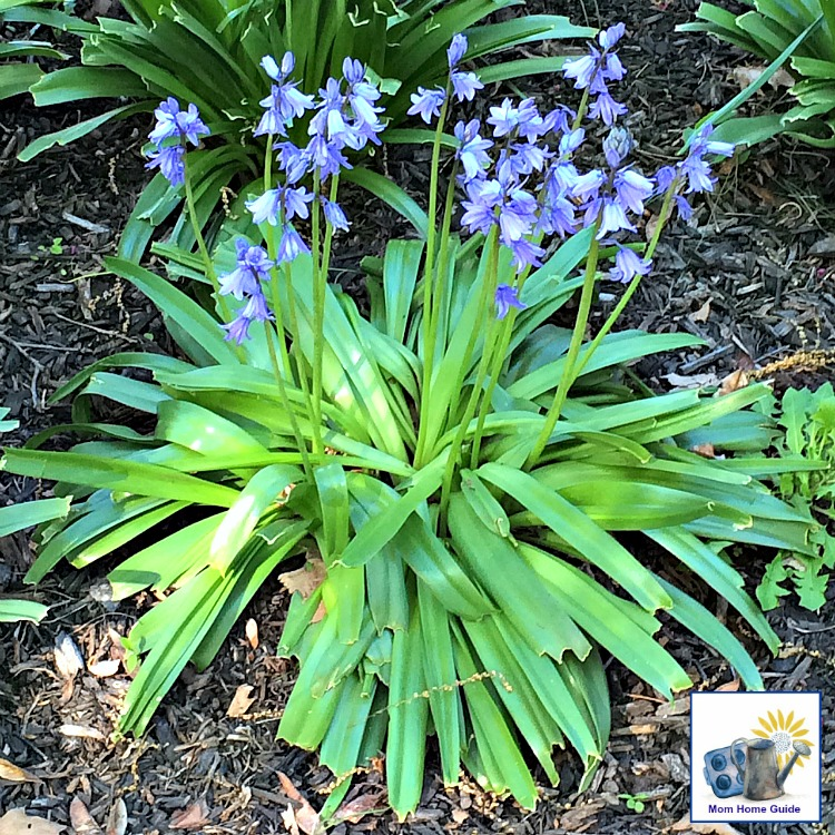 Wood hyacinth, also known as Spanish bluebells