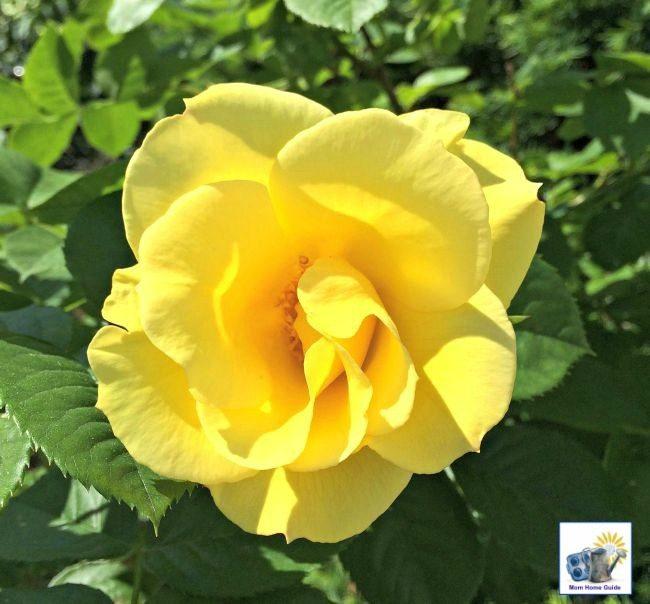 A beautiful yellow rose on a rose bush