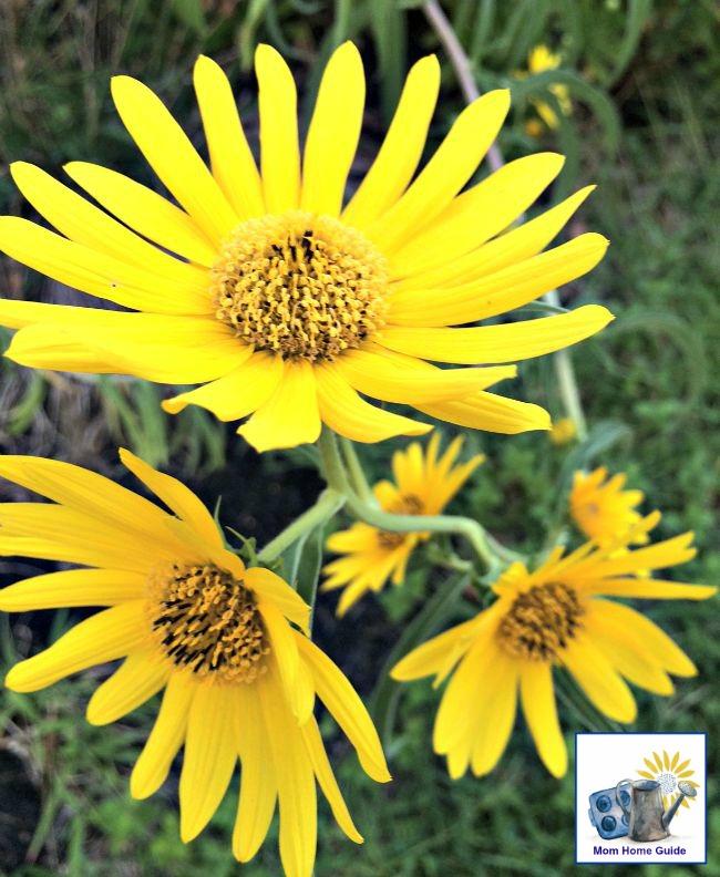 Sunny yellow wildflower perennials