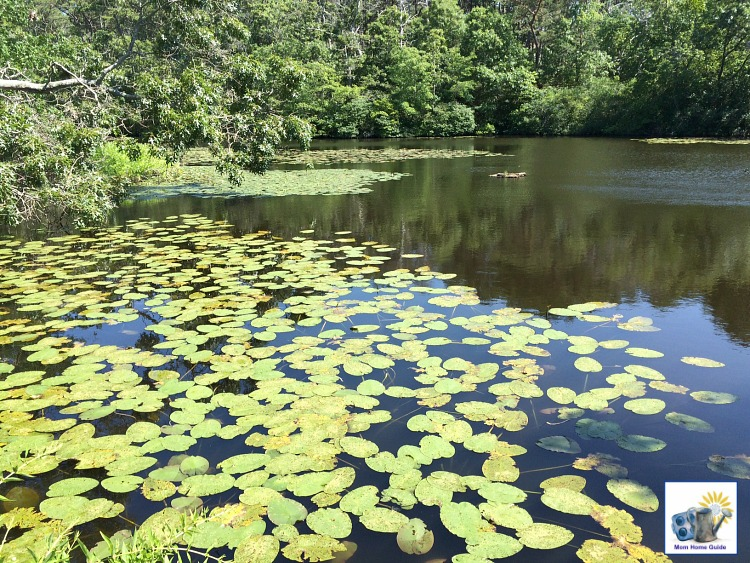 Pond with lily pads in the Audubon Wildlife Preserve in Wellfleet, Mass.