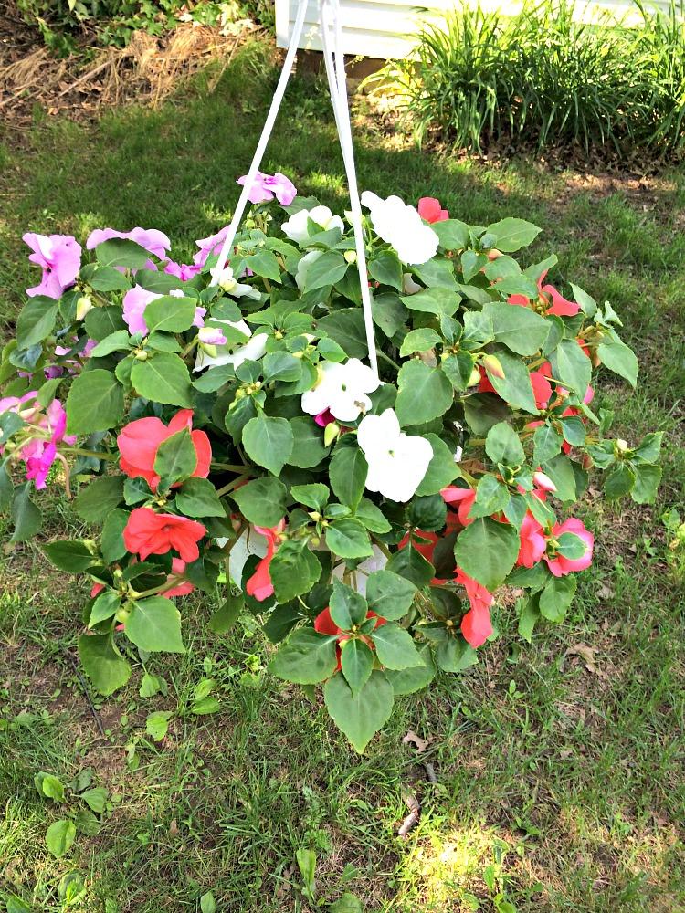 hanging planter of impatiens