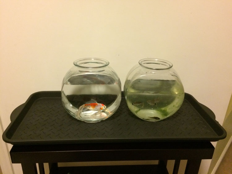 fish bowls with tetra and goldfish