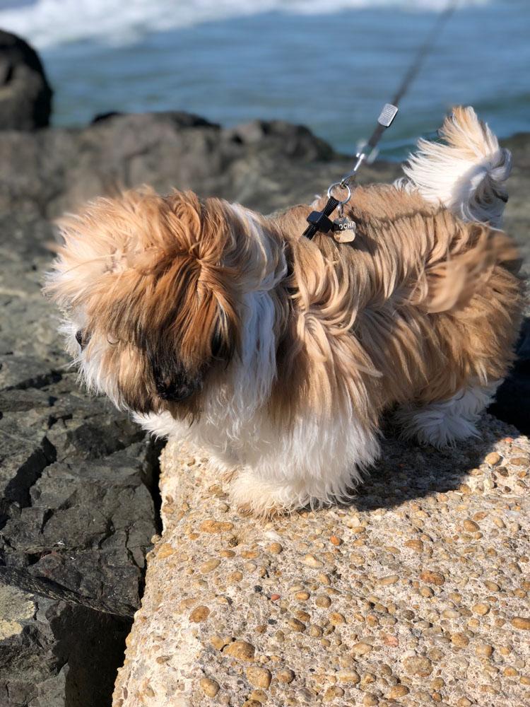 shih tzu puppy at the beach