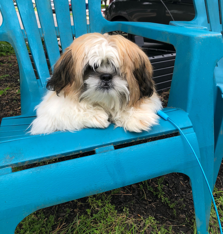 Shih Tzu puppy on an Aidrondack chair