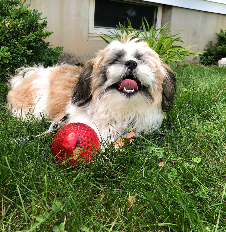 brown and white shih tzu puppy with a red ball on green grass lawn