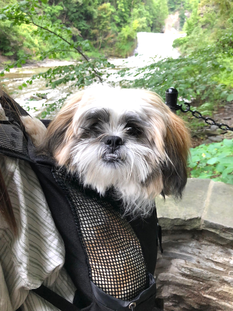 Shih Tzu puppy by gorges and waterfalls on the Cornell University campus in Ithaca, NY