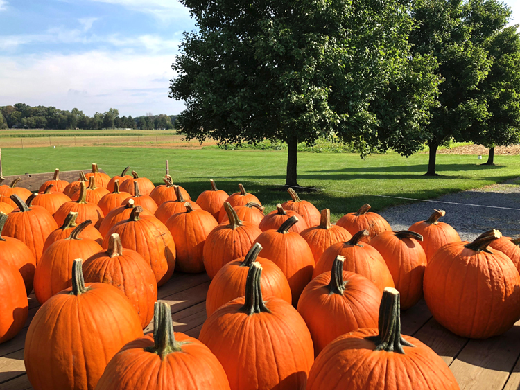 pumpkins at stults farm in plainsboro, nj