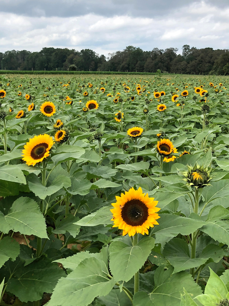 2018 sunflower festival at Holland Ridge Farms in Cream Ridge, NJ