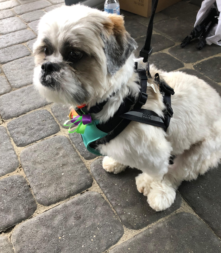 Shih Tzu puppy wearing a ClickIt safety harness