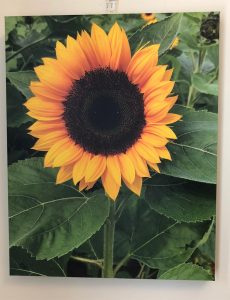canvas print of a beautiful sunflower