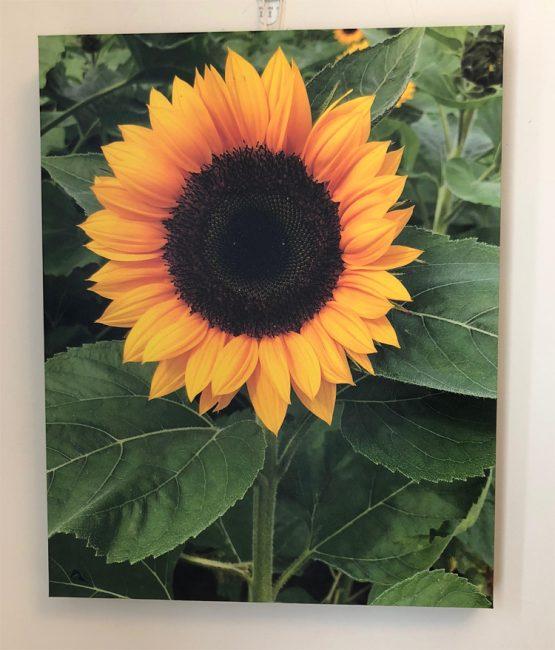 canvas print of a beautiful sunflower