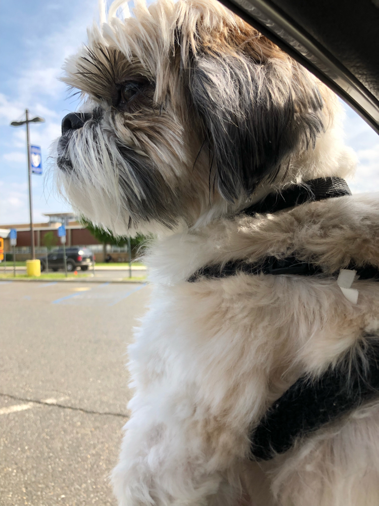 A Shih Tzu puppy in a car window