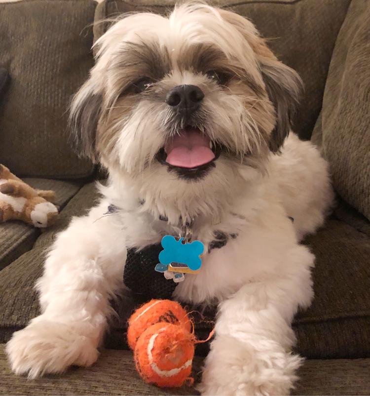 Shih Tzu puppy with two orange tennis balls