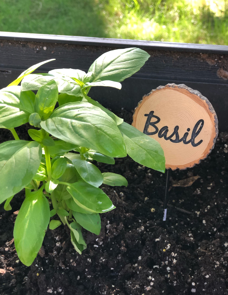 Basil planted in a raised patio planter and marked with a wood slice garden marker.