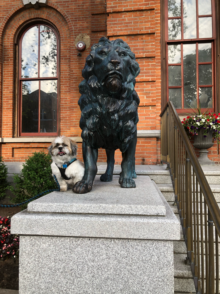 A cute Shih Tzu pup next to one of the lions at the city hall in Saratoga Springs, NY