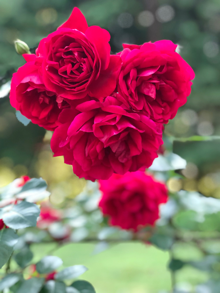 Red roses in the Yaddo Gardens in Saratoga Springs, NY