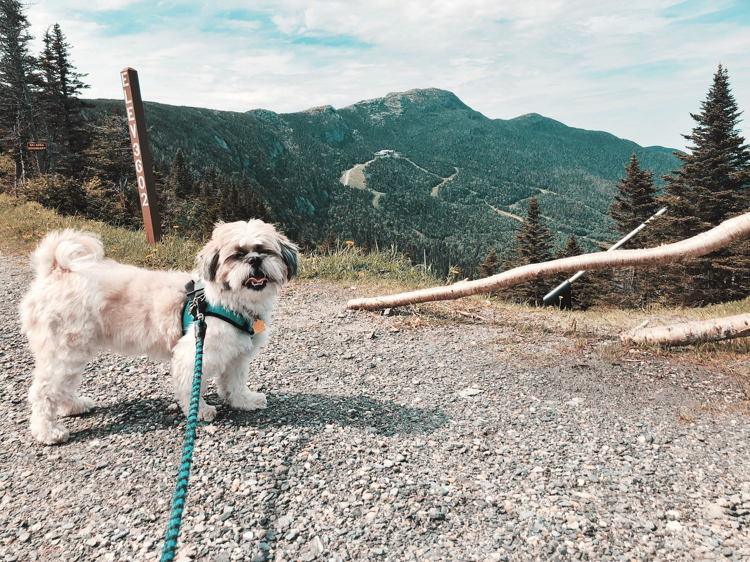 Shih Tzu on top of Mt. Mansfield in Stowe, Vermont