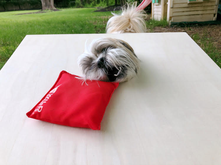 Shih Tzu pup stealing a beanbag from a corn hole game