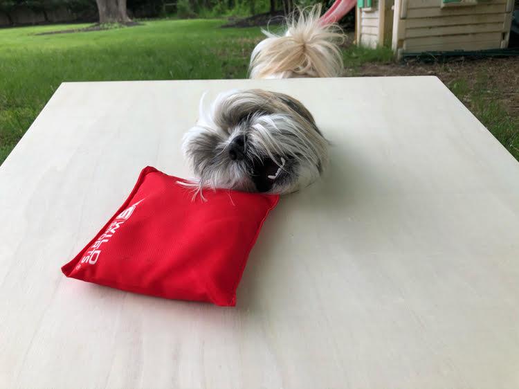 cute Shih Tzu pup sticks head through hole in corn hole board to steal bean bag