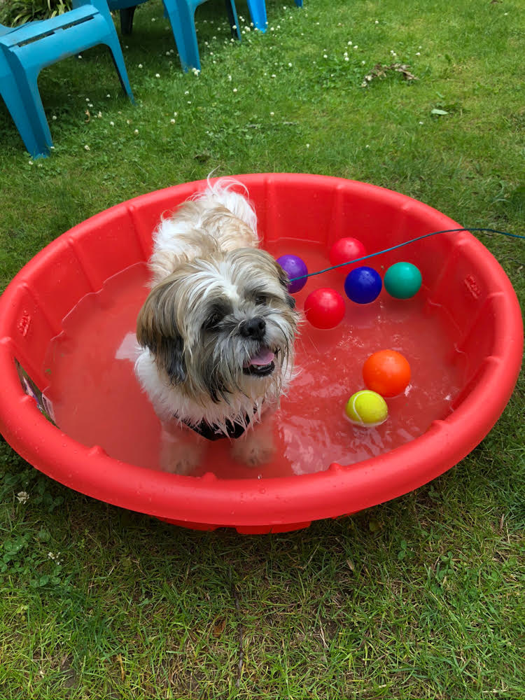 cute Shih Tzu in a plastic puppy pool filled with water and plastic floating balls