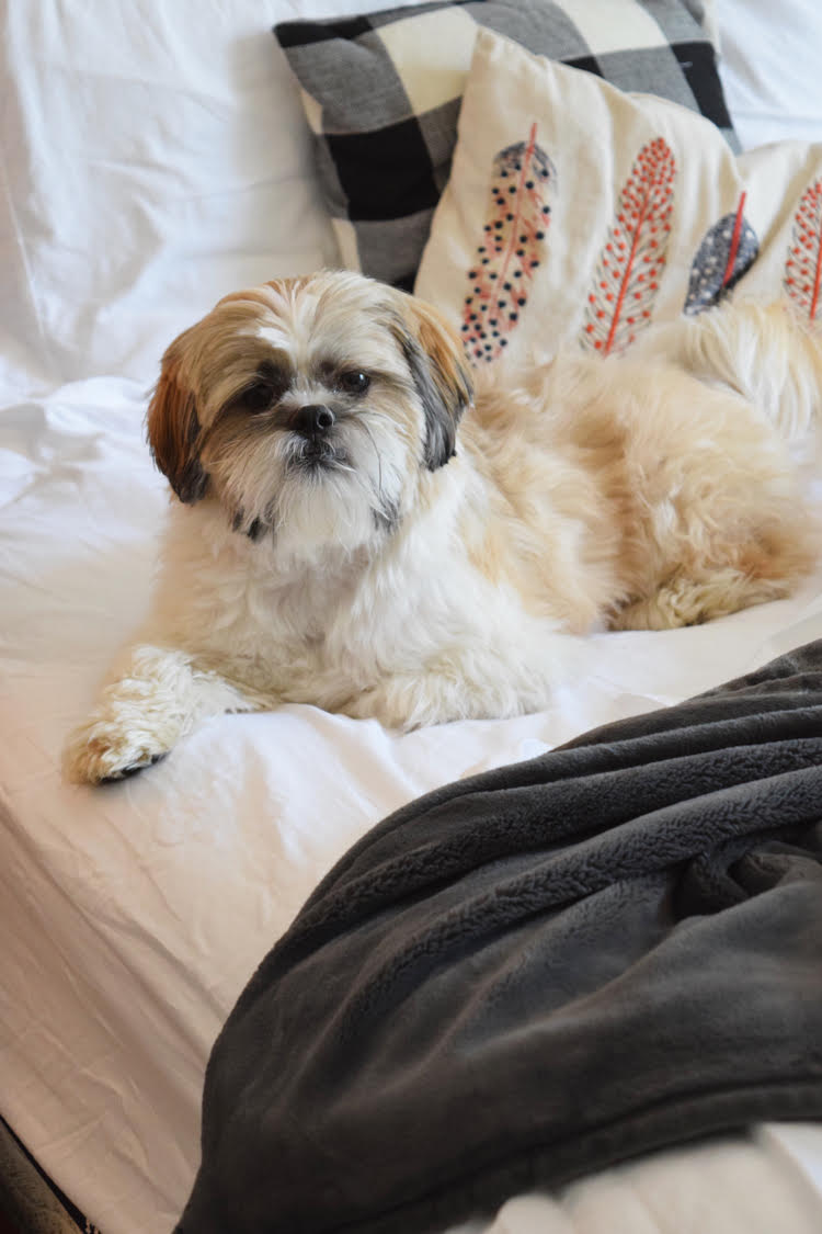 Shih Tzu on a bed with a plush gray blanket and fall pillows