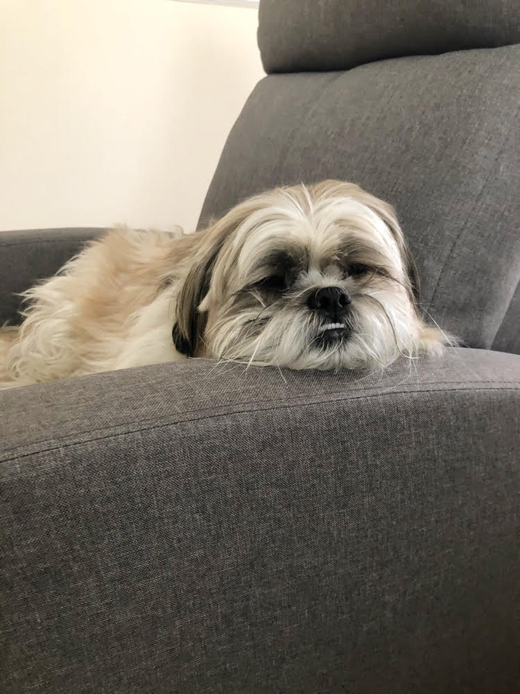 Shih Tzu pup in a gray living room recliner chair