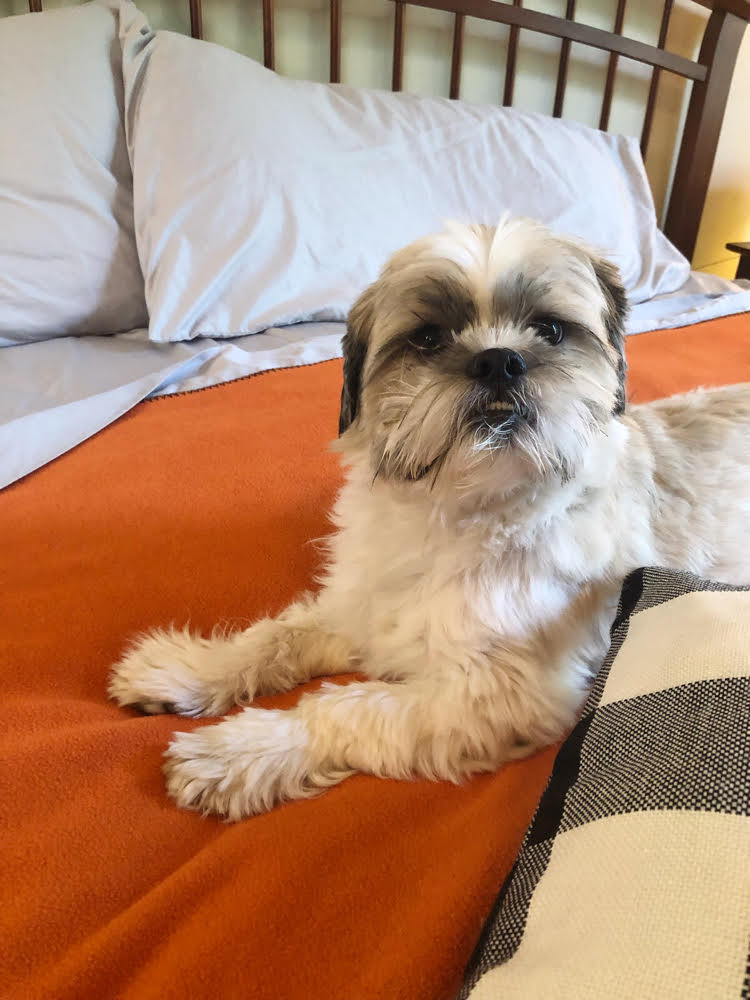 Shih Tzu pup on a bed dressed for Autumn with a Therapedic mattress pad and luxurious Therapedic gray sheets.